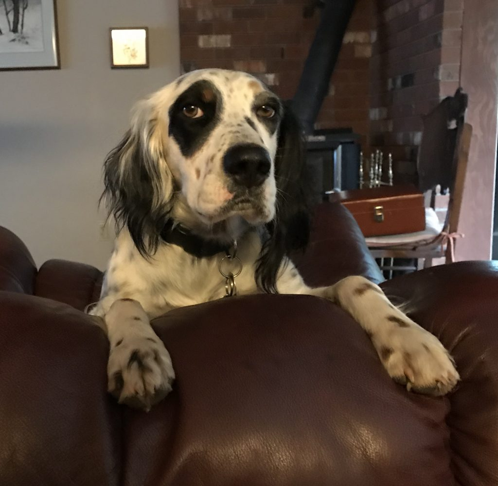The dog, an English setter, king of all he sees.